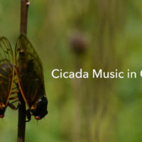 Cicada Music in Ohio
